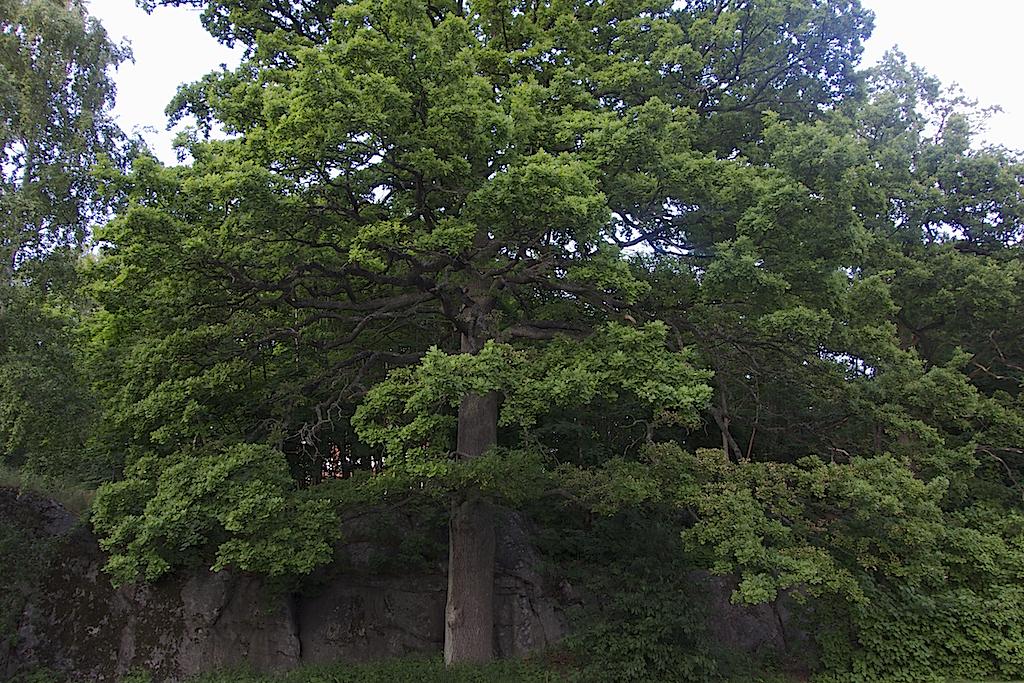 En stor ek, kanske 150 år gammal