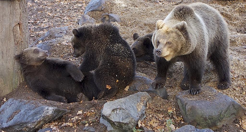 Björnar som leker på Skansen
