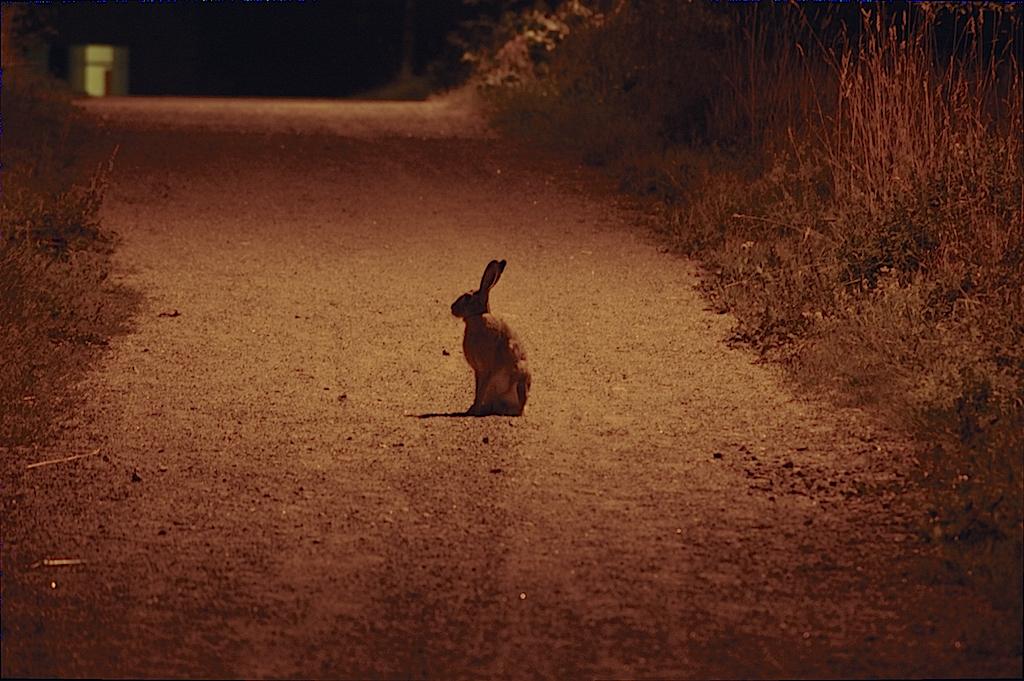 EN hare på en grusad gångväg, mitt  i natten