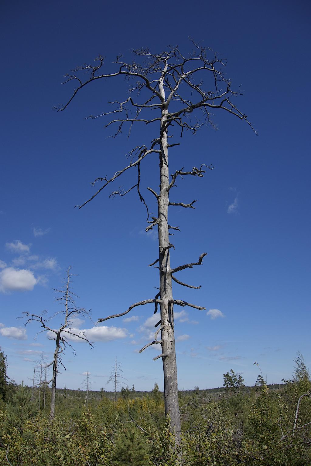 Ett dött naket träd i det öppna landskapet efter storbranden.