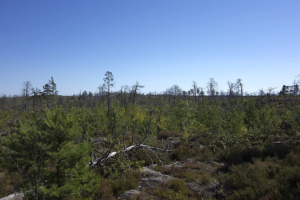 brandskog