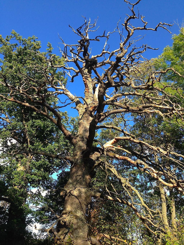 En gammal ek med både levande och döda grenar