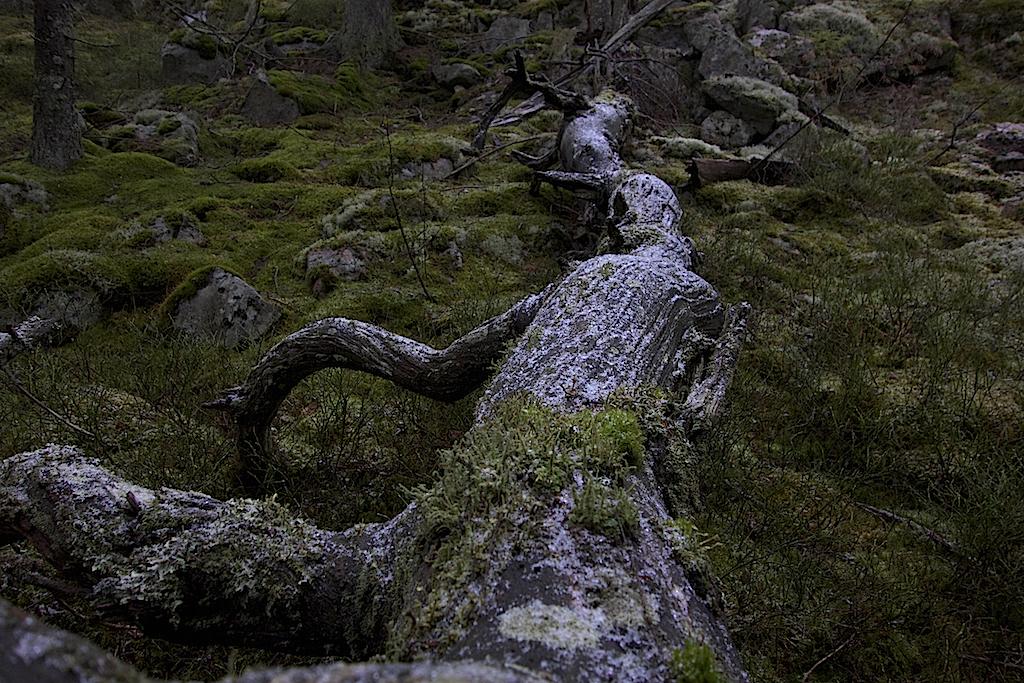 Mossbeklädd trädstam som fallit för hundratals år sen.