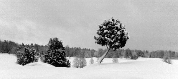 En liten klotformad gren på en snöklätt fält i Tyresta by.