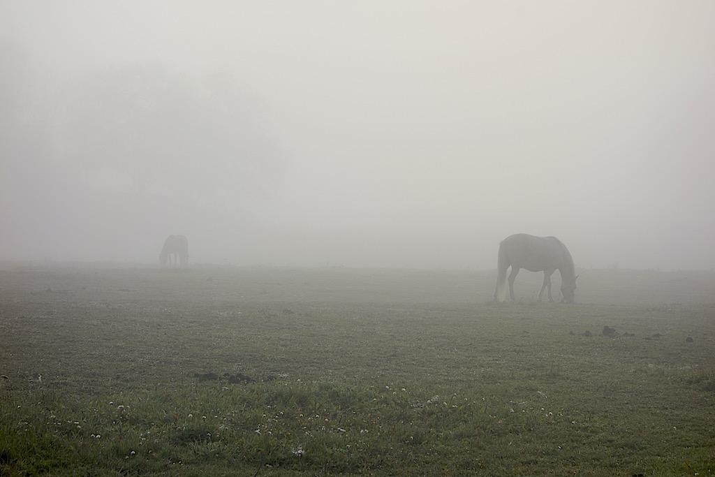 Två betande hästar i dimma