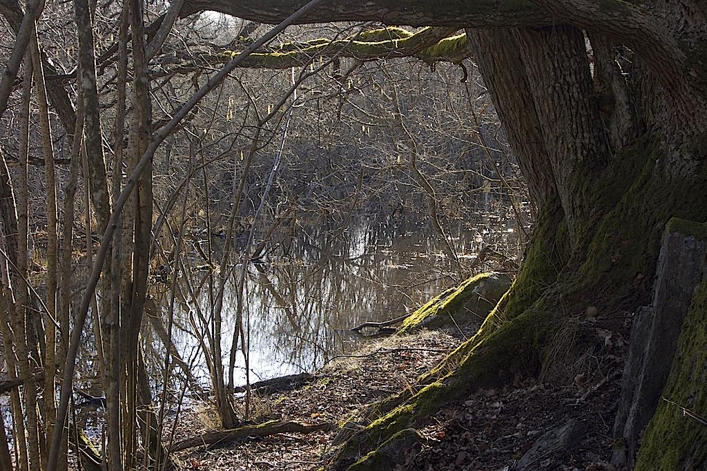 Ågestasjöns träsklika strand med en gammal ek och tät vegetation